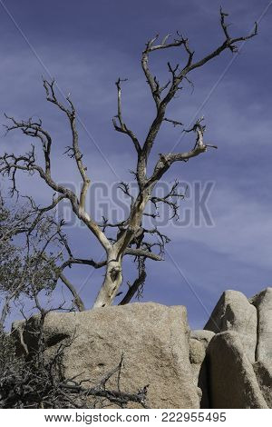 gnarled old dead tree in Joshua Tree National Park rising up from the rocks against a bright blue sky