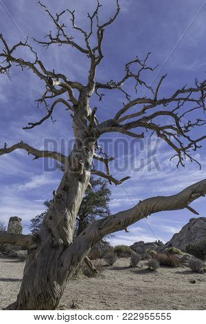 large gnarled old dead tree in Joshua Tree National Park twisted by the wind