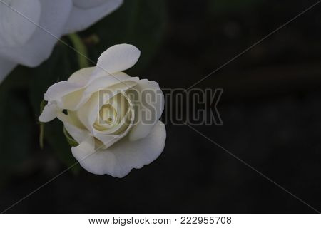 white rosebud beginning to unfurl on a dark background with room for text beside