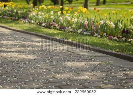 Spring sidewalk with fallen petals of cherry blossoms, sakura tree and Blossoming lawns with bright colors of flowers. Selective focus. Concept of spring, transience, time