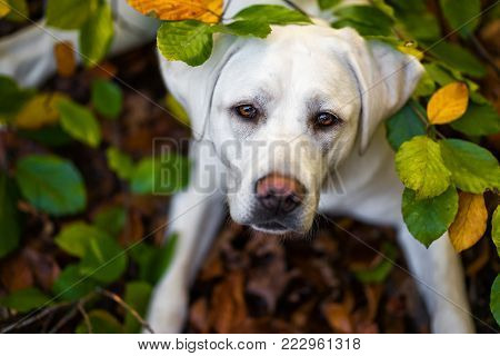 portrait of young cute labrador retriever dog puppy with big brown eyes during autumn with colored leaves