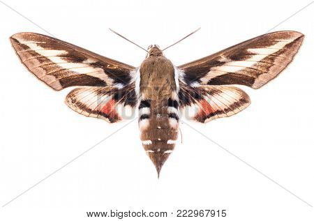 Male Bedstraw hawk-moth (Hyles gallii) isolated on white background