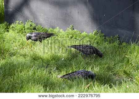 Starlings walk on the grass. Corvids starling.
