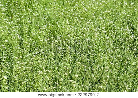 Plant a shepherd's bag. Capsella bursa-pastoris. Glade with a shepherd's bag