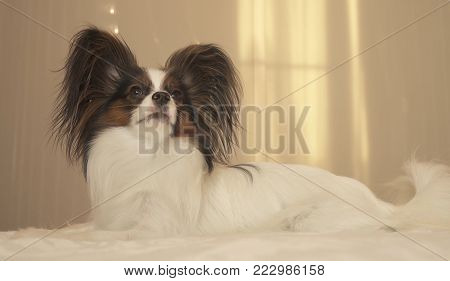 Young dog breeds Papillon Continental Toy Spaniel lies on the bed