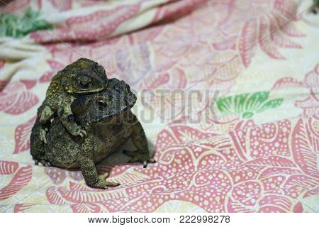 Mother Common toad and her baby, bufo bufo, in front of pattern fabric background