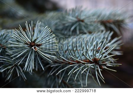 A snapshot of a branch of a coniferous tree close up