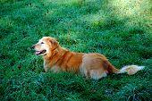 a golden retriever lies in the deep dew covered grass poster