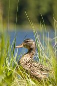 close up of a breeding duck sitting between long grass poster