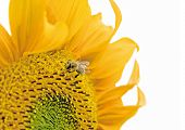 isolated sunflower with little honeybee poster