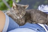 Furry tabby cat lying on its owner's lap, enjoying being cuddled and purring. poster