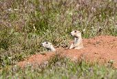 A couple of alert prairie dogs looking out from the safety of their burrow. poster