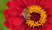 Honey Bee collecting nectar from red flower poster