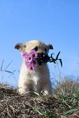 puppy dog hold flowers in mouth on blue sky background poster