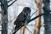 Barred owl strix varia or northern barred owl or hoot owl perched on branch closeup. poster