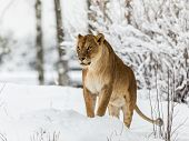 Lion, Panthera leo, Lionesse standing in snow, bright background. Captive animal in a zoo in Kristiansand, Norway, the animals often choose to go outside in the cold snow even if they can stay inside. poster