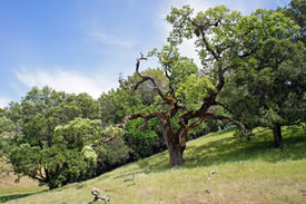 live oak on California hills