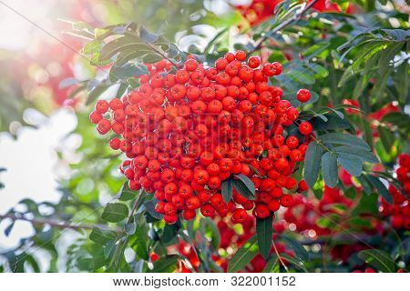 Red Rowan On A Branch. Rowan Berries On Rowan Tree. Sorbus Aucuparia, Sunlight
