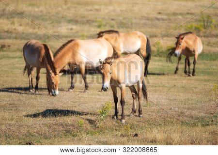 Equus Ferus Przewalskii, Beautiful Wild Horses In Natural Habitat .