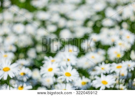 Chamomile Flower Field. Camomile In The Nature. Field Of Camomiles At Sunny Day At Nature. Camomile