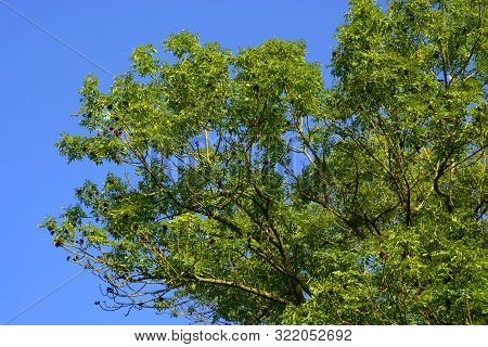 European Ash Tree With Bright Green Branches, Big Ash Tree Or Fraxinus Excelsior In Front Of Blue Cl