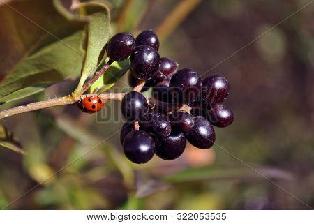 Ligustrum Vulgare (wild Privet, Common Privet, European Privet) Black Ripe Berries On Branch With Gr