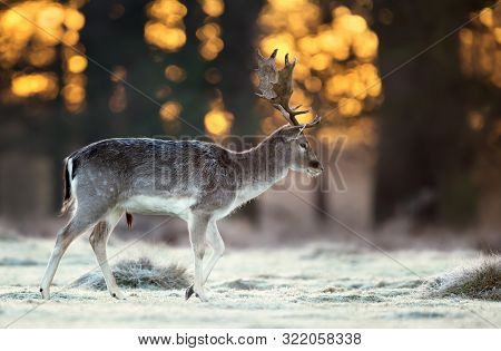 Close Up Of A Fallow Deer (dama Dama) Walking Across A Frosty Field At Sunrise, Uk.