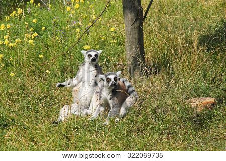 Cute Couple Of Ring-tailed Lemurs (lemur Catta) Sitting Together And Basking In The Sun