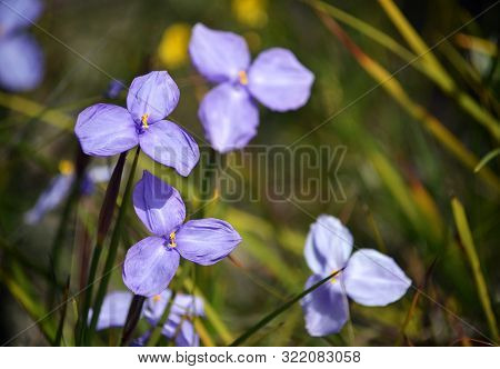 Australian Native Silky Purple Flag Iris Wildflowers, Patersonia Sericea, Family Iridaceae, Flowerin