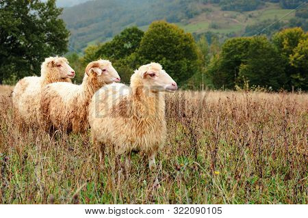 Ram And Two Sheep On The Meadow. Animals Among Weathered Grass Looking In To The Right Direction. Oa