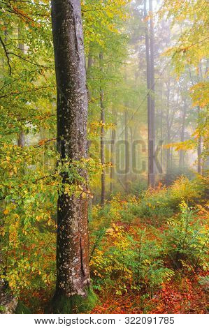 Autumnal Beech Forest Background. Wet Foliage In Fall Colors. Mysterious Weather Condition With Mist