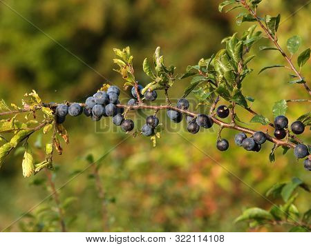 Branch With Ternary Fruits (prunus Spinosa L.)