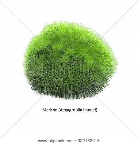 Aegagropila Linnaei, Known As Marimo, Ball Seaweed, Cladophora Ball, Lake Ball, Mossimo Or Moss Ball