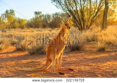 Side View Of Red Kangaroo, Macropus Rufus, Standing On The Red Sand Of Outback Central Australia. Au
