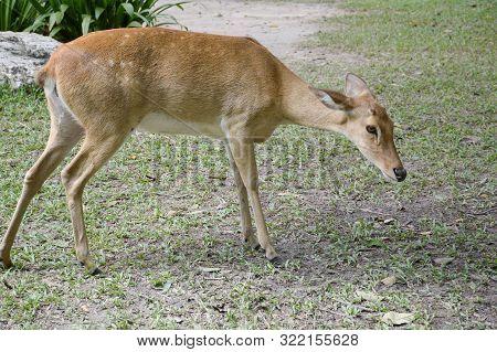 Close Up Eld Deer In Wild Nature