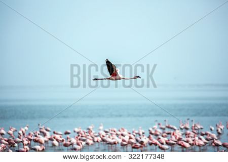 Beautiful bird flies over the water. Early morning on the atlantic coast of Namibia. Flock of magnificent white-pink flamingos feed in coastal silt. Concept of photo tourism and birdwatching