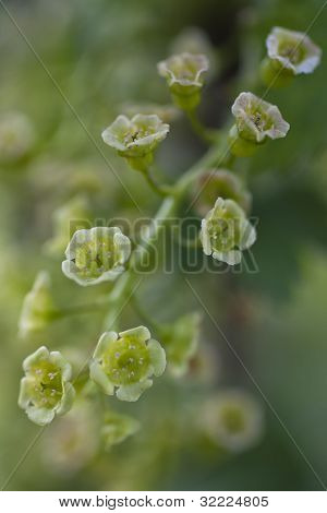 Red Currant Blossom