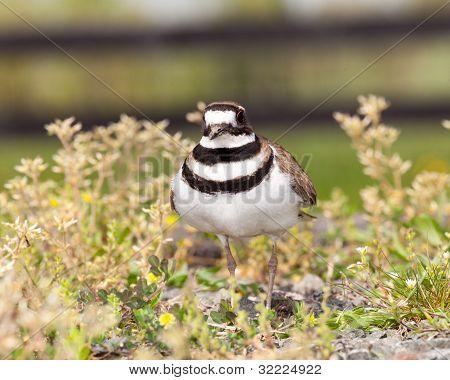 Killdeer Bird Defending Its Nest