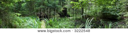 Marshy Natural Coniferous Forest