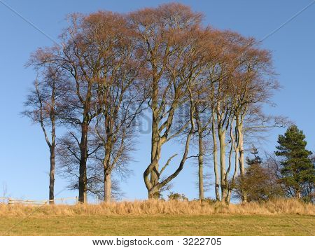 Cluster Of Beeches