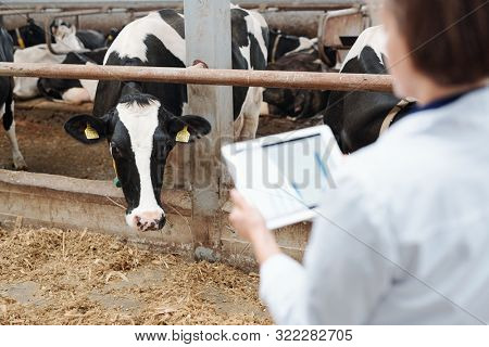 One of black-and-white dairy cows looking at worker of farmhouse out of fence of cowshed while eating hay