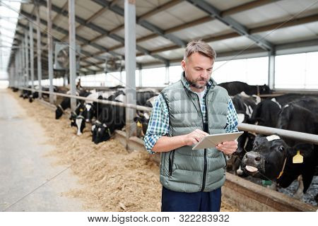 Mature male worker of contemporary animal farm using digital tablet while searching for online information about new kinds of food for milk cows