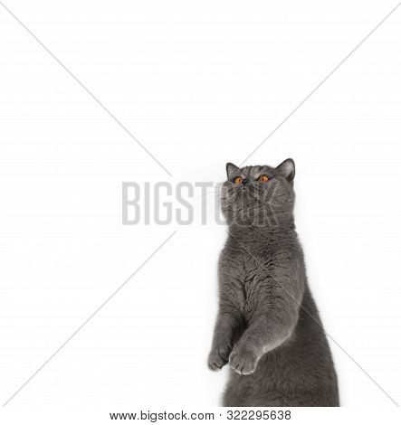 Funny Gray Cat Stands On Its Hind Legs And Looks Up. Cute British Cat Isolated On White Background.