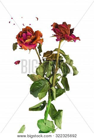 Dried Red Roses With Fractures Of Rose Petals On White Background. Concept For Aging Love, Bitter Ro