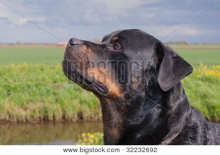 Portrait Of A Rottweiler Dog With Mouth Shut