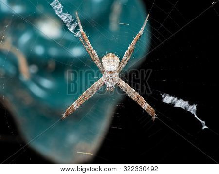 Macro Photo Of St Andrew's Cross Spider On Web Isolated On Background