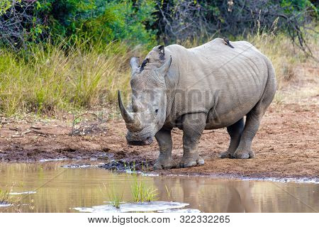 Endangered Species Of White Rhinoceros On Small Water In Pilanesberg National Park & Game Reserve, S