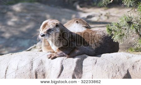 European otters basking in the sun on the shore poster