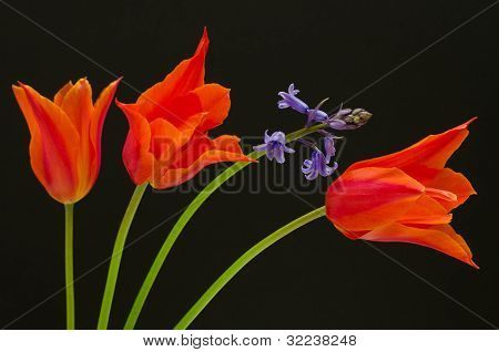 colourful orange tulips
