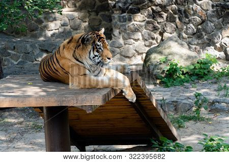 Siberian Tiger, Also Known As The Amur Tiger.
